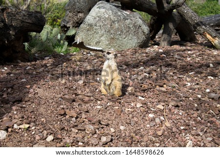 meerkat on a plain in the sun