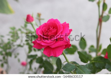 Pink roses are blooming beautifully in the front garden in the morning. #1648633117