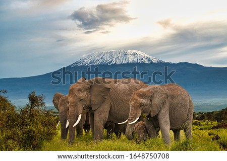 Elephants and Mount Kilimanjaro in Amboseli National Park
