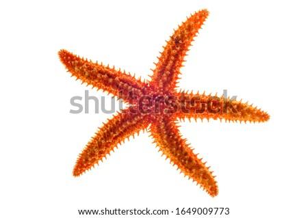 Dried common starfish / sea star (Asterias rubens) on white background Royalty-Free Stock Photo #1649009773