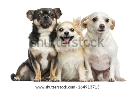 Group of Chihuahuas, isolated on white #164913713