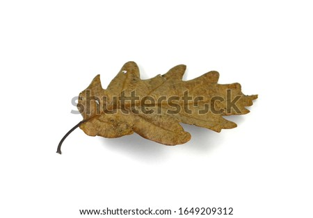 Old oak leaf isolated on white. Autumn leaf. #1649209312