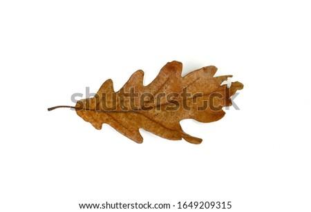 Old oak leaf isolated on white. Autumn leaf. #1649209315