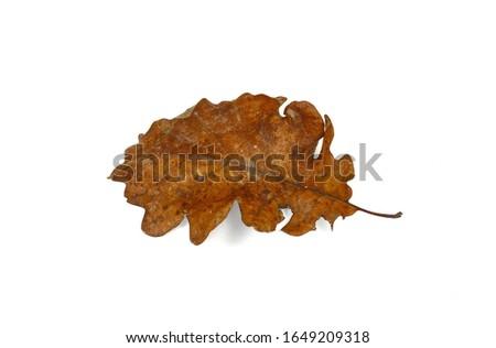 Old oak leaf isolated on white. Autumn leaf. #1649209318