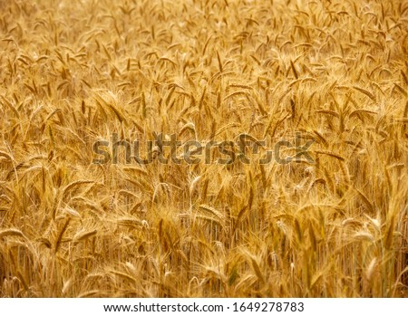 Ripe barley plantation ready for harvest. Barley grain is used for flour, barley bread, barley beer, some whiskeys, some vodkas, and animal fodder #1649278783