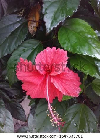a beautiful wild rubber tree flower #1649333701