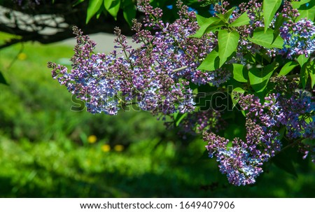Syringa lilac species of flowering woody plants in the olive family native to woodland and scrub from southeastern Europe to eastern Asia and widely and commonly cultivated in temperate areas elsewher #1649407906