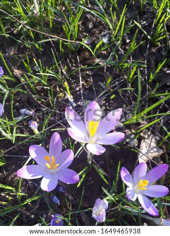 Spring crocus (Crocus veruns) among the first Flowers to bloom in spring. #1649465938