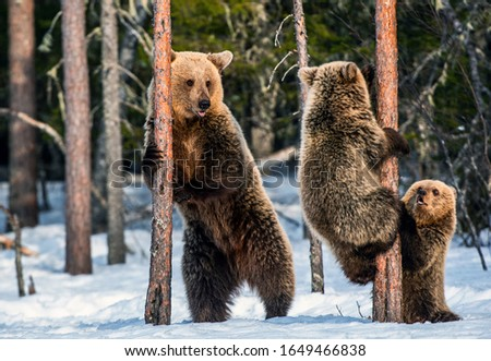 Brown bears stands on its hind legs by and Bear Cubs Climbing a Pine Tree. She-Bear and bear cubs in the winter forest. Brown Bear, Scientific name: Ursus Arctos Arctos. Natural habitat. #1649466838