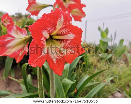 A close up shot of striped Barbados lily.Red and white striped Barbados lily plant pictured in a garden.Hippeastrum striatum (striped Barbados lily) a beautiful red lily,