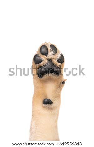 Golden retriever puppy paw isolated on white background. Flat lay copy space Royalty-Free Stock Photo #1649556343