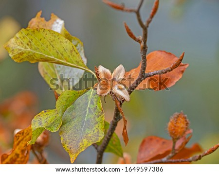 European beech branches in autumn with yellow leaves and fruits. Fagus sylvatica, the European beech or common beech, is a deciduous tree belonging to the beech family Fagaceae. #1649597386