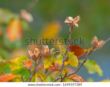European beech branches in autumn with yellow leaves and fruits. Fagus sylvatica, the European beech or common beech, is a deciduous tree belonging to the beech family Fagaceae. #1649597389