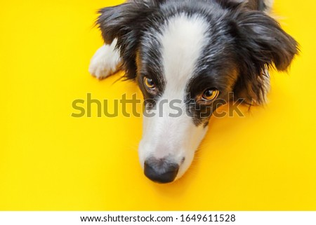 Funny studio portrait of cute smilling puppy dog border collie isolated on yellow background. New lovely member of family little dog gazing and waiting for reward. Pet care and animals concept. #1649611528