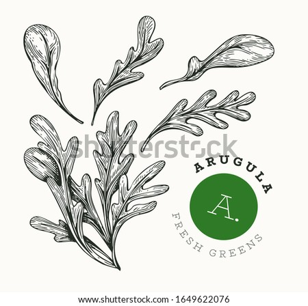 Hand drawn sketch arugula. Organic fresh food vector illustration isolated on white background. Retro vegetable rucola salad illustration. Engraved style botanical picture. #1649622076