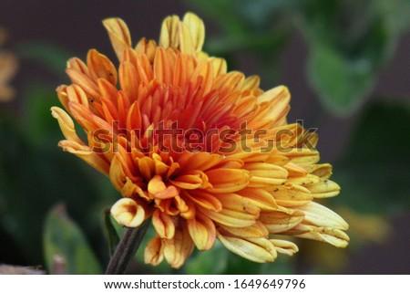flower Red Beauty flora petals little petals yellow                       #1649649796