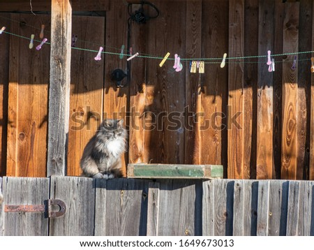 a picture of a gray cat, a cat warming up in the sun, a wooden barn texture and shadows in the background