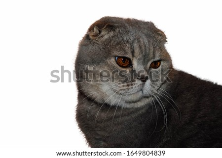 Domestic cat. Scottish Fold breed. Grey cat isolated on a white background