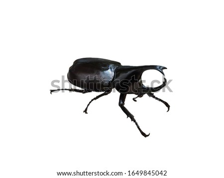 Male rhino beetle on white background,Xylotrupes Gideon Linnaeus, Siamese rhinoceros beetle, Fighting beetle,Rhinoceros beetle. #1649845042