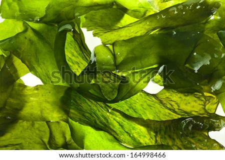 wet seaweed kelp ( laminaria ) surface close up macro shot texture background #164998466