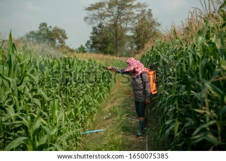 Farmers spray pesticides onto corn plants. By using an insecticide sprayer with improper protection in the paddy field, the use of insecticides is harmful to health #1650075385
