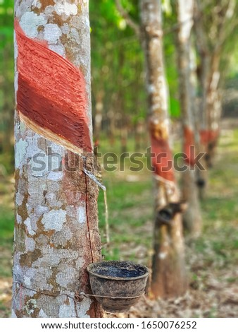 Rubber trees, with rubber tapping. #1650076252