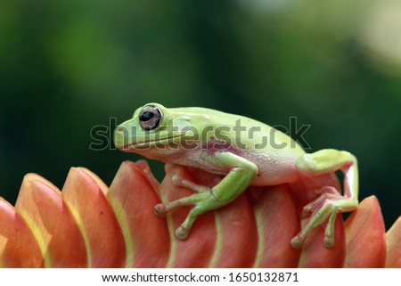 Australian white tree frog on leaves, dumpy frog on branch, animal closeup, amphibian closeup #1650132871