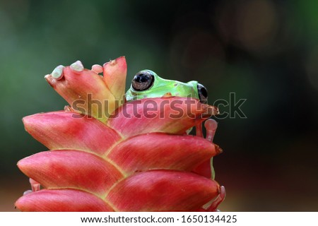 Australian white tree frog on leaves, dumpy frog on branch, animal closeup, amphibian closeup #1650134425