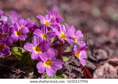 Perennial primrose or primula in the spring garden. Spring primroses flowers, primula polyanthus. Purple primroses in spring woods. Primroses in spring. The beautiful colors primrose flowers garden. #1650157996