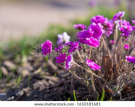 Perennial primrose or primula in the spring garden. Spring primroses flowers, primula polyanthus. Purple primroses in spring woods. Primroses in spring. The beautiful colors primrose flowers garden #1650181681
