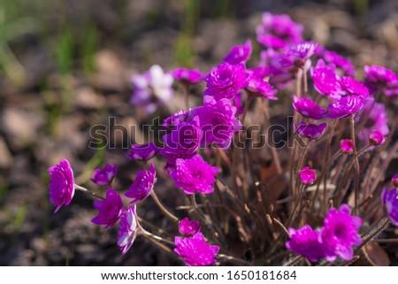 Perennial primrose or primula in the spring garden. Spring primroses flowers, primula polyanthus. Purple primroses in spring woods. Primroses in spring. The beautiful colors primrose flowers garden #1650181684