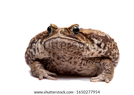 Cane or giant neotropical toad on white