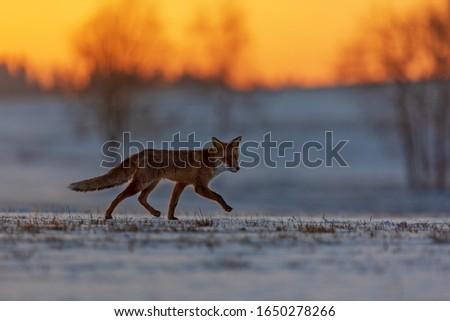 red fox (Vulpes vulpes) nice picture with sun rise