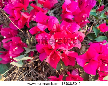 Bougainvillea flowers are perennial plants in the semi-creeper type bush.  With thorns growing along the trunk, the leaves are split alternately with the branches in the picture, a dark pink flower