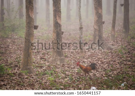 foggy rubber plantations with rubber bowl #1650441157