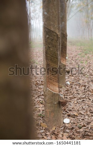 foggy rubber plantations with rubber bowl #1650441181