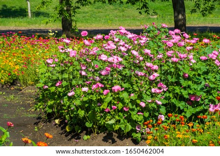 Lavatera is a genus of about 25 species of flowering plants in the family Malvaceae, native to the Mediterranean region, central and eastern Asia, North America (California and Mexico) and Australia #1650462004