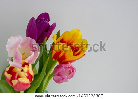 Field of colourful spring tulips fading into the distance as a lower border on a white background with copyspace.space for text