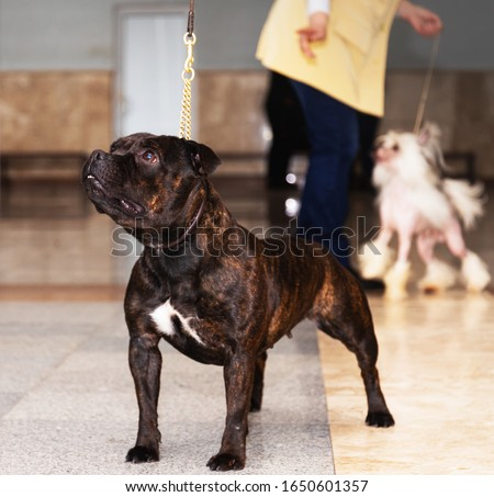 a brindle american staffordshire terrier #1650601357