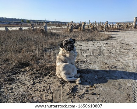 portrait of a cute pug on a walk