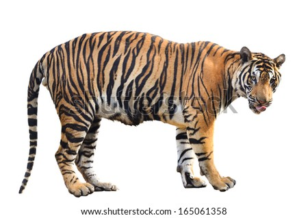 bengal tiger isolated on white background #165061358