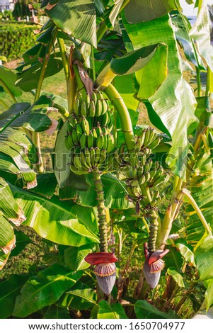 Vertical photography of huge purple flowers hanging of palm tree and small green bananas growing at branches.  #1650704977