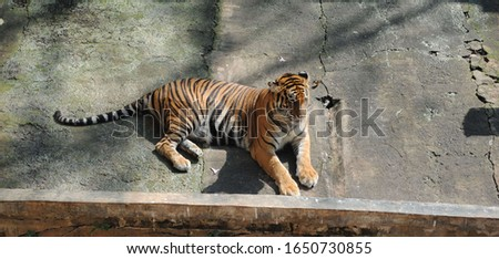 Tiger Sat on the floor at Zoo #1650730855