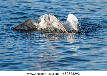 Two common gulls (Larus canus) fight about food. They have pushed each other down under the water and are on their way up again. Blue background with negative space to fill with text. #1650848293