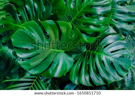 Monstera green leaves or Monstera Deliciosa in dark tones, background or green leafy tropical pine forest patterns for creative design elements. Philodendron monstera textures Royalty-Free Stock Photo #1650851710