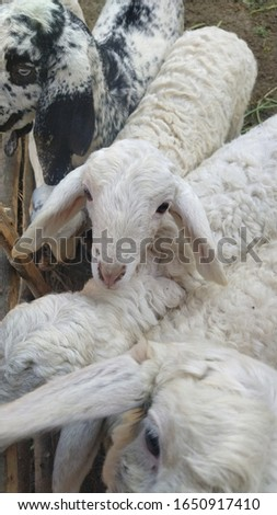 white hair baby sheep's closeup photo in cage  #1650917410