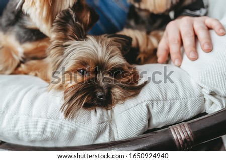 Yorkie terrier portrait emotion on the pillow. Yorkie and her owner on bed. Closeup view