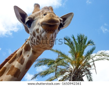 Close up of a giraffe's head, palm leaves and blue sky in the background