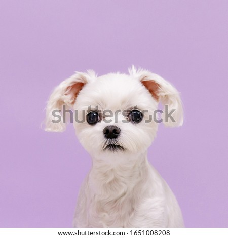 old white maltese picture in purple backgrounders