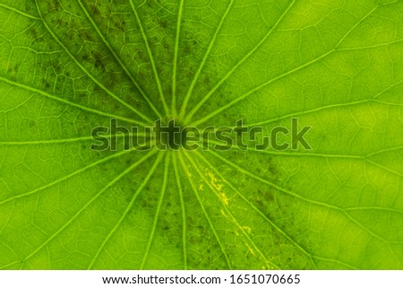 Leaf of Lotus Plant (Nymphaea nucifera) #1651070665